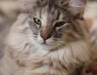 CFA证书纯种挪威森林猫,哪里有挪威森林默哀,挪威森林猫价格