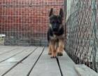 上海哪里有黑背犬卖 上海黑背犬价格 上海可黑背犬多少钱