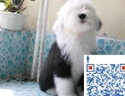 古代牧羊犬 白头通背四脚踏雪幼犬待售 三个月