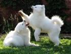 可爱的纯白色半岁银狐妹妹寻找可以依靠的新主人