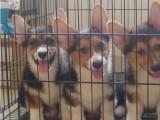 哪里有卖纯种双血统柯基犬纯种的长什么样子
