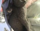 低价出售一只家养小蓝猫