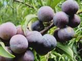 出售汶川脆红李子苗,哪有嫁接脆红李苗,四川有卖脆红李果树苗