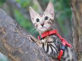 福建泉州纯种孟加拉豹猫放心购买