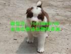 上海边牧犬舍繁殖 上海边牧大型养狗场 上海便宜边牧哪里有卖的