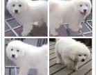 基地**纯种大白熊犬 大白熊幼犬 保纯种和健康