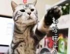 美短虎斑幼猫1200