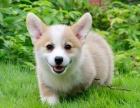 精品萌寵柯基犬出售疫苗齊全保健康簽訂協議隨時上門