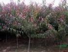 山东青州红叶碧桃苗木种植供应基地,红叶碧桃苗木报价