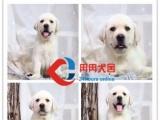 出售纯种拉布拉多幼犬 赛级品质 健康质保 颜色齐全
