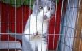 无锡本地 单C英短蓝猫蓝白 包健康包纯种