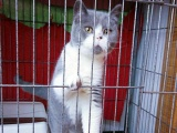 本地纯家养 单C英短蓝猫蓝白 包纯种包健康
