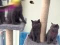 家养蓝猫幼猫出售