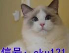 三个月布偶猫 海豹双色 手套色 火焰色 性格超好