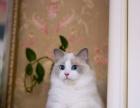 出售欧洲血统布偶猫