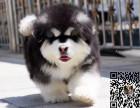 出售纯种阿拉斯加幼犬 价格合理品质保证可上门挑选