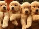 出售纯种金毛 金毛幼犬 品相好 包健康 质量保证