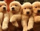 出售纯种金毛犬 金毛幼犬 品相好 血统保证