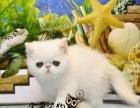 舍低价出售加菲猫 包纯种保健康疫苗已做