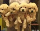 上海哪里有免费赠送宠物狗,自家贵宾幼犬免费找新家,公母都有