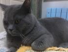 自家英短蓝猫 仅剩2公 北京同城出售