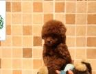 正规狗场、专业繁殖、实物拍摄、可见狗父母泰迪熊犬