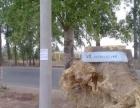 树墩子—上百年树根