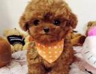 广州泰迪熊一只多少钱 娃娃脸泰迪熊实体狗场疫苗做齐签协议