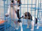出售纯种短毛比格犬活体宠物狗狗米格鲁比格幼犬小型比格猎兔犬狗
