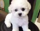 上海冰冰萌犬屋有小泰迪幼犬出售 价格很呆萌