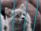 自家繁殖英短蓝猫弟弟2个月