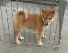 苏州狗场直销丶纯种柴犬丶三包健康纯种包存活
