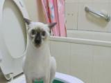 正规猫舍出售暹罗猫活体纯种家养宠物猫猫咪幼崽