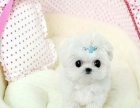出售精品高品质萌宠超可爱马尔济斯幼犬 质保纯种健康