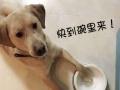 拉布拉多公狗雄性寻配种宠物配种价格500