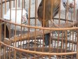 出售贵州凯里画眉打唱鸟个大品相好全国可以快递包邮包活