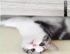 美国短毛猫/白起司猫/虎斑猫天生可爱小卷尾2500