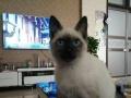 给我家暹罗猫找男朋友