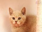 乳色英短橘猫弟弟