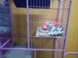 虎斑猫找爱心主人,送380元猫笼