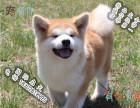 哪里可以买到健康的秋田犬可以签协议的那种