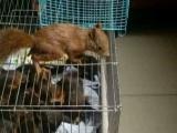 2016魔王松鼠