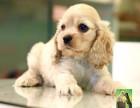 大耳朵可爱可卡犬纯种幼犬纯种英系可卡犬幼犬