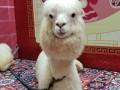 广州有羊驼租赁圣诞节萌神羊驼矮马展览拍照