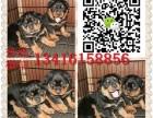 广州新光狗场 纯种罗威纳犬繁殖基地 包纯种健康可送货上门