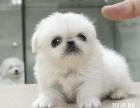 上海哪里有免费赠送家养宠物狗狗京巴幼犬免费领养公母都有