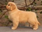 南宁纯种金毛价格 南宁哪里能买到纯种金毛犬