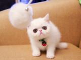 自家猫舍繁育加菲猫 包纯种 包健康