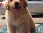 北京常年出售宠物狗金毛猎犬多少钱保健康送货上门