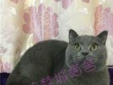 夏季优惠活动,纯种英国短毛猫蓝猫三花蓝白乳白乳高